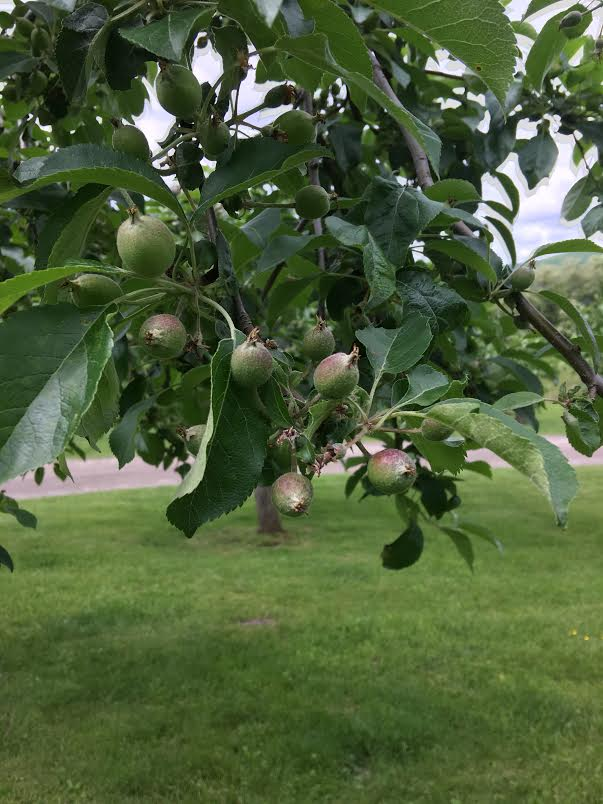 apples spring 2017